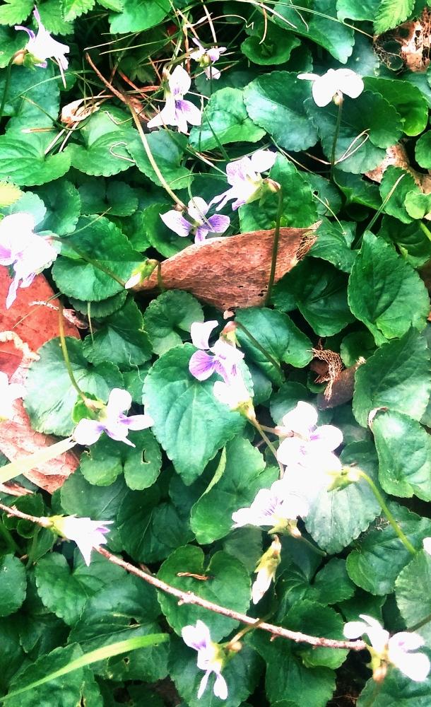 PurpleWhiteFlowers